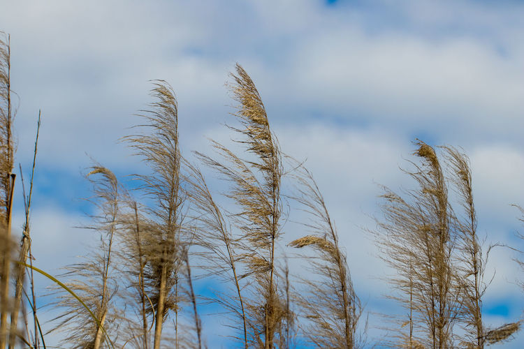 marsh grass against blue sky with clouds Plant Sky Growth No People Day Nature Tranquility Low Angle View Cloud - Sky Beauty In Nature Focus On Foreground Outdoors Close-up Grass Reed - Grass Family Land Scenics - Nature Tranquil Scene Tree Non-urban Scene Stalk Timothy Grass