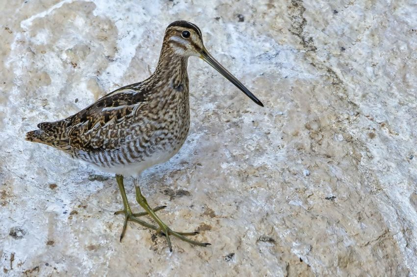 Common Snipe Bird One Animal Animals In The Wild Animal Wildlife Animal Themes No People Day Outdoors Nature Waterfowl Beauty In Nature Beak Birds🐦⛅ Nature Bird Photos Close-up Side View Water Clear Sky