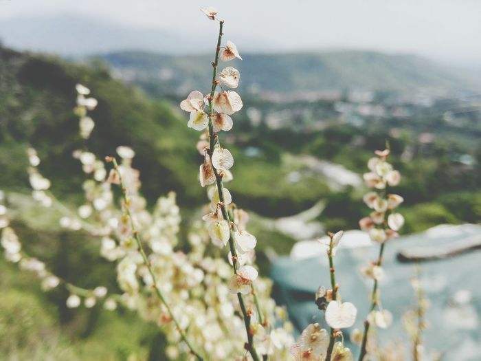 Close-up of white flowers blooming against mountain