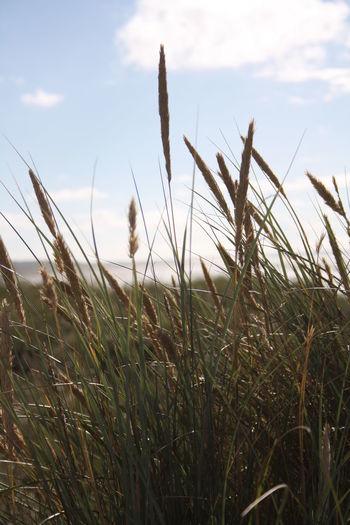 Bythesea Denmark Grass Lymegrass Nature Summer