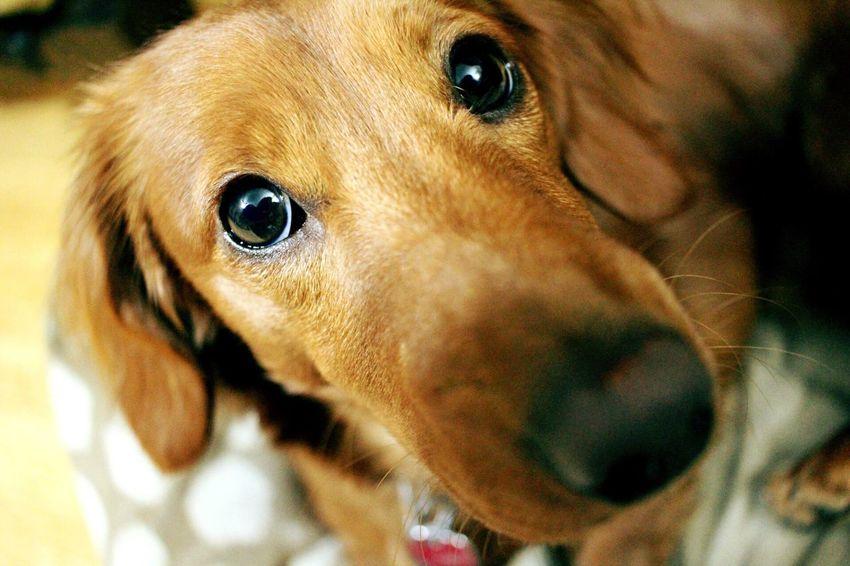 Chewy Dog Weiner-Dog Dachshund Close-up Macro