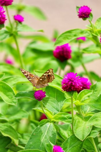 Flower Head Flower Pollination Leaf Pink Color Insect Butterfly - Insect Animal Themes Close-up Plant