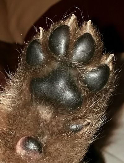 Give me your paw 🐾🐾🐾 German Shepherd Lovemypups Pets Dog Puppy Close-up Lovemydogs Indoors  Animal Themes Natureisperfect