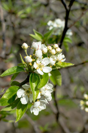 Pear blossom in early spring Beauty In Nature Branch Close-up Day Flower Head Freshness Growth Nature No People Outdoors Pear Blossom Pear Tree  Plant Tree White Color