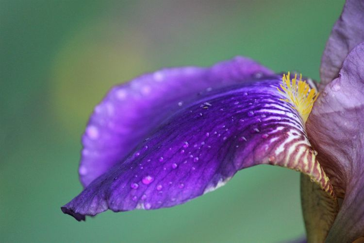 Flowering Plant Vulnerability  Fragility Close-up Plant Beauty In Nature Flower Purple Freshness Petal Growth Inflorescence Focus On Foreground Flower Head Drop Nature Water Wet No People Iris - Plant Outdoors Pollen Springtime Dew Purity