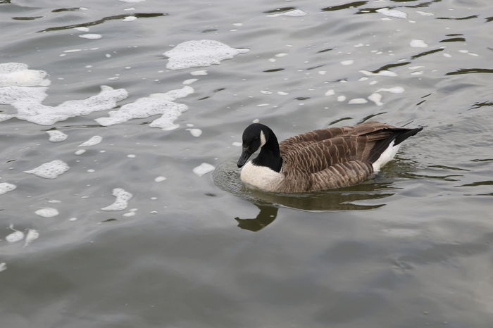 Animal Themes Animal Wildlife Animals In The Wild Beauty In Nature Bird Canada Goose Day Foam High Angle View Nature No People One Animal Outdoors River Surrey Countryside Swimming Thames Water Water Bird Waterfront