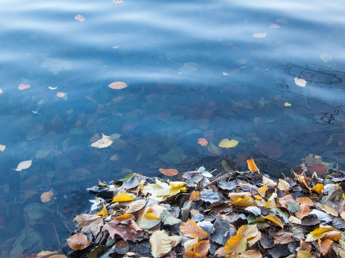 Autumn Beauty In Nature Change Day Fallen Floating Floating On Water Fragility High Angle View Lake Leaf Leaves Lily Pad Maple Maple Leaf Nature No People Outdoors Reflection Standing Water Tranquility Water Waterfront Wet