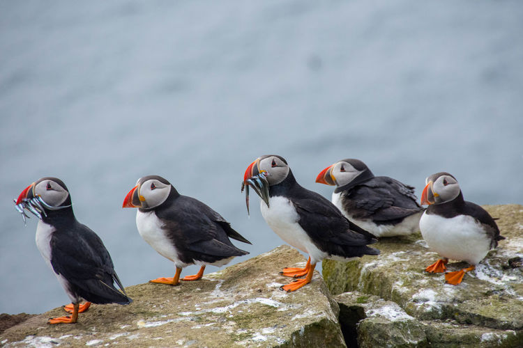 Atlantic Puffins at Mykines, Faroe Islands Atlantic Puffin Birds Faroe Islands Faroeislands Färöer Island Mykines Nature Ocean Outdoor Photography Outdoors Puffin Sea Water Wildlife