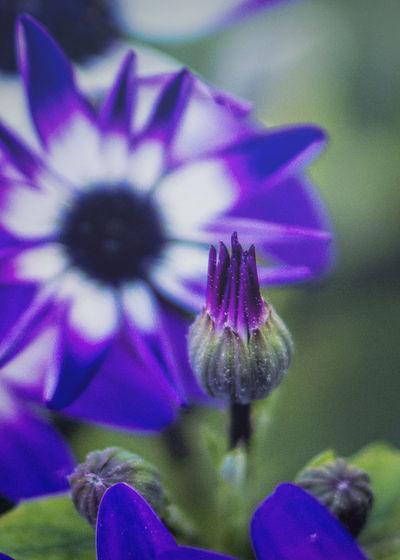 Purple Passion Beauty In Nature Blue Purple Blue Purple Flower Close-up Flower Flower Head Fragility Petal Purple