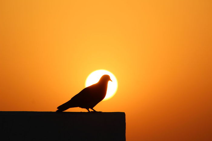 Sunset Bird Animals In The Wild Silhouette Animal Themes No People Beauty In Nature Sun Perching Doha,Qatar EyeemPhilippines Mobilephotography Eyeem Philippiness