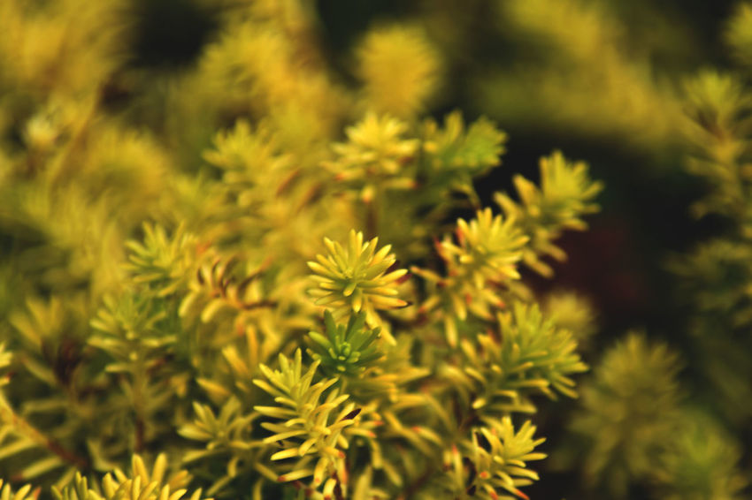 Backgrounds Beauty In Nature Close-up Coniferous Tree Day Flower Flower Head Flowering Plant Focus On Foreground Fragility Freshness Full Frame Green Color Growth Nature No People Outdoors Pine Tree Plant Selective Focus Spiky Tranquility Vulnerability  Yellow