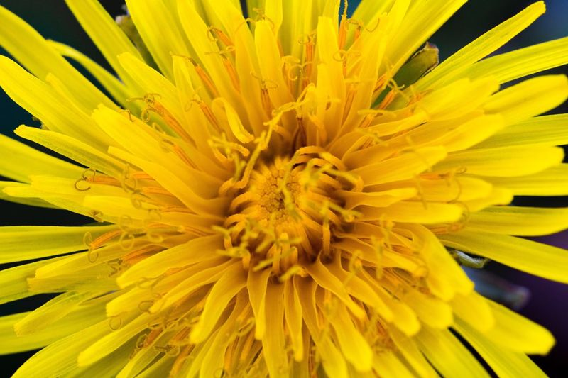 Flower Yellow Petal Flower Head Fragility Beauty In Nature Nature Close-up Growth Freshness Pollen Plant No People Day Outdoors Backgrounds Sunflower Chrysanthemum Beauty In Nature Multi Colored