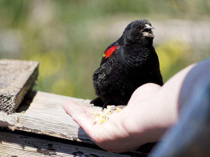 Close-up of hand feeding bird perching on wood