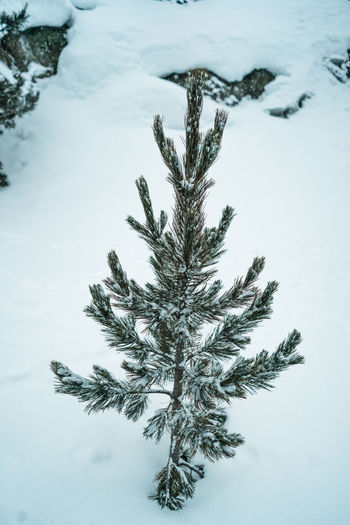 little pine tree Walking Hike Outdoors Forest Snow Cold Temperature Nature Winter Plant No People Frozen Close-up Tree Day Land Christmas Holiday Tranquility Beauty In Nature Covering High Angle View Field Fir Tree Pine Tree Coniferous Tree