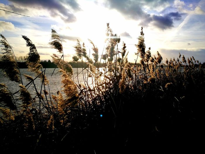 Reed Reed - Grass Family Riverside Sunset Silhouette Sky Close-up Cloud - Sky Tall Grass