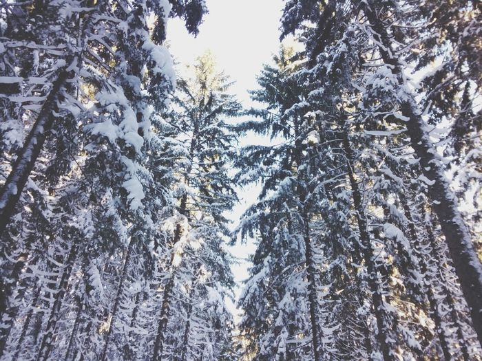 Low angle view of pine trees against sky during winter