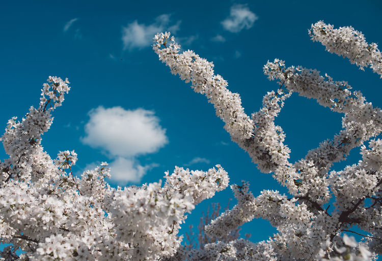 Springtime Decadence Blue Sky Nature Day Beauty In Nature No People White Color Cloud - Sky Low Angle View Sunlight Outdoors Growth Cold Temperature Fragility Plant Tranquility Snow Vulnerability  Scenics - Nature Winter Cherry Blossom