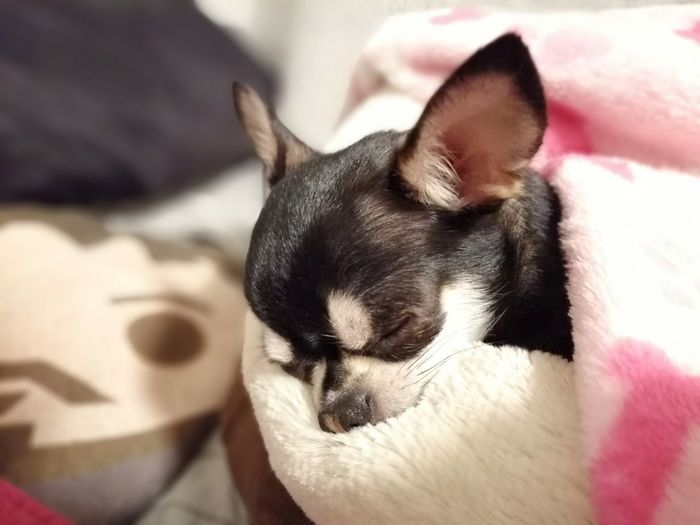 Pets Domestic Mammal Domestic Animals Animal Themes Animal One Animal Vertebrate Relaxation Cat Feline Domestic Cat Furniture Sleeping Eyes Closed  Resting Indoors  Close-up No People Bed Whisker Chihuahua Cutie,