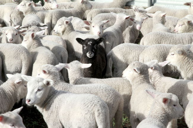 Be different and don't be afraid to stand out from the crowd! Stand Out From The Crowd Agriculture Animal Animal Family Animal Themes Black And White Sheep Black Sheep Blackandwhite Day Domestic Flock Of Sheep Group Of Animals Herbivorous Herd Lambs Large Group Of Animals Livestock Mammal Nature No People Pets Sheep Togetherness Vertebrate Young Animal