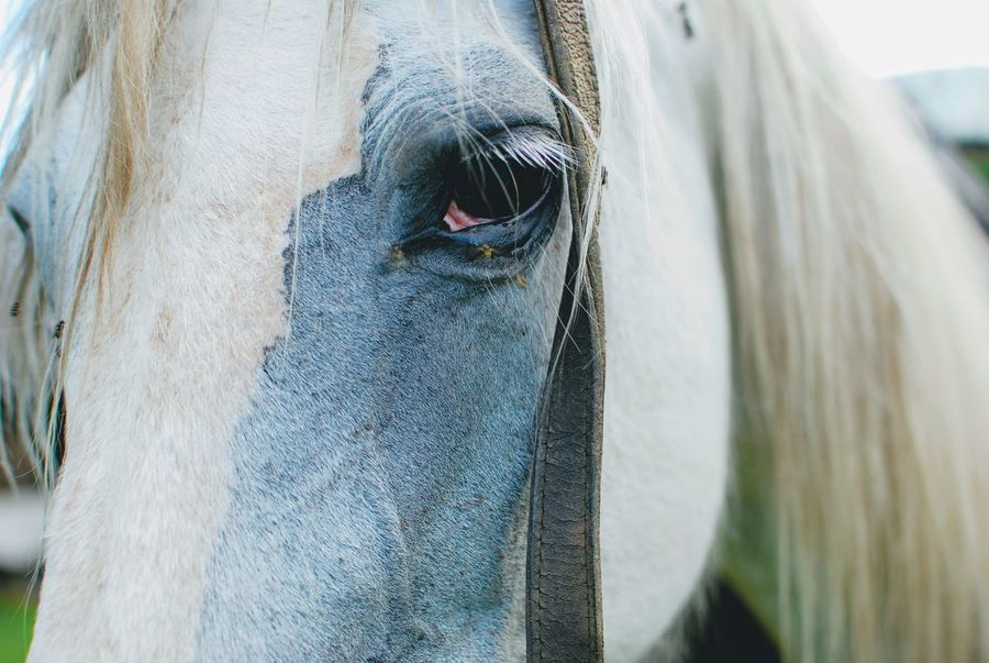 Farmstead Animal Body Part Animal Head  Animal Themes Close-up Day Domestic Animals Eye Horse Horse Eye Horse Photography  Livestock Mammal Nature No People Old Horse One Animal Outdoors White Horse White Horse Portrait Pet Portraits