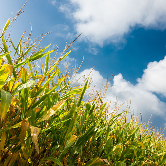maize and sky France Normandie Agriculture Beauty In Nature Blue Cloud - Sky Corn Crop  Day Field Land Landscape Maize Nature Normandy Outdoors Plant Sky Sunlight