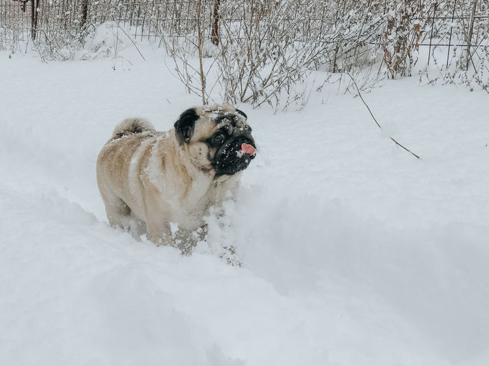 Pug Pug Life  Pugs Pug Dog Dog In Snow Snow Winter Cold Temperature Canine Dog Mammal One Animal Animal Themes Pets Domestic Animals Domestic Animal White Color Vertebrate Field Nature Land Day No People Outdoors Purebred Dog
