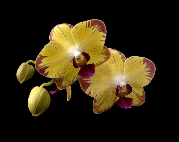 Yellow orchids with buds isolated on black Orchids Yellow Yellow Orchids