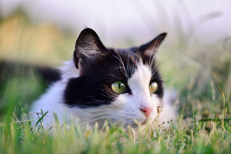 Cat Watching Pets Domestic Animals Domestic Cat Close-up Cat Whisker Animal Head  Green Color Four Legs And A Tail Kitty Feline Neko