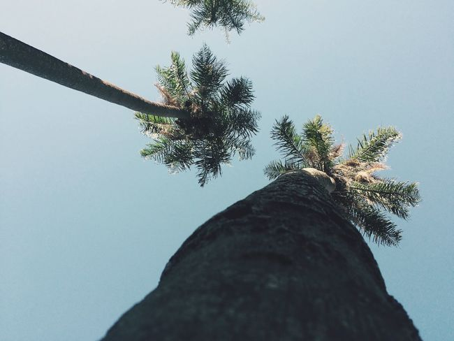 Coconut tree Tree Tree Trunk Clear Sky Low Angle View Nature Day Sky Growth Beauty In Nature Outdoors No People Tranquility Palm Tree Scenics Branch Close-up Water Nature Coconut Trees Coconut Palm Tree Sky And Clouds EyeEmNewHere If Trees Could Speak EyeEmNewHere