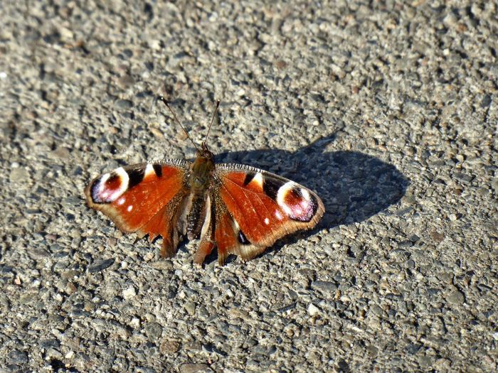 🦋captured For My Friends 😍😘🎁 Nature Is My Sanctuary 🌳💚 Surrounded By Nature Nature Is My Religion I'm Never Alone In Nature Eye4photography  Exceptional Photographs Zooooom❤ Miss You ♡ 🦋 Animal Wildlife 🦋 Butterfly Love 🦋Butterfly Close Up Close To Nature Butterfly - Insect Insect Sunlight High Angle View Full Length Animal Markings Butterfly Close-up Springtime Decadence My Best Photo