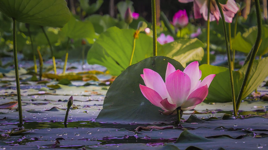 Beauty In Nature Blooming Blossom Close-up Day Floating On Water Flower Flower Head Focus On Foreground Fragility Freshness Growth In Bloom Leaf Lotus Water Lily Nature No People Outdoors Petal Pink Color Plant Pond Purple Stem