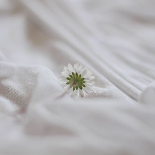 Close-up of white flower on bed
