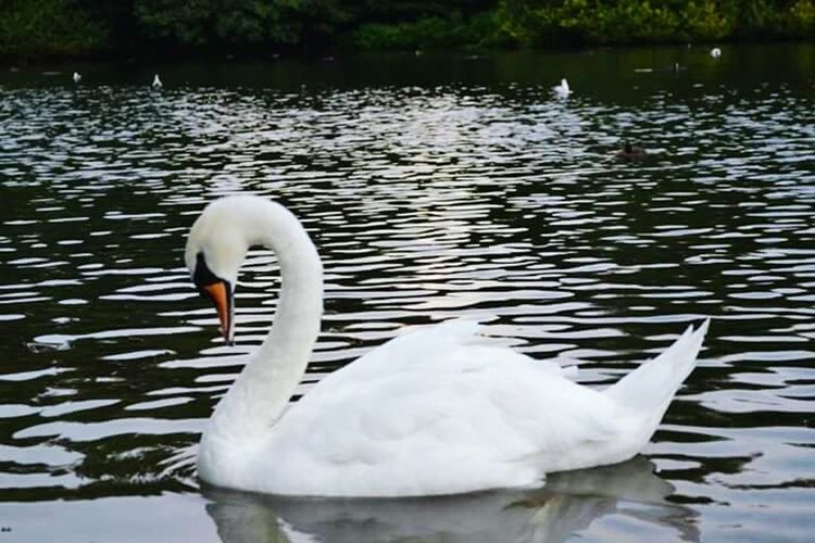 St James Park  London Swan Swan Lake White White Swan Park Landscape
