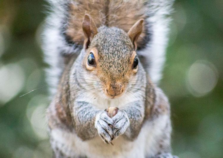 Close-up portrait of a squirrel