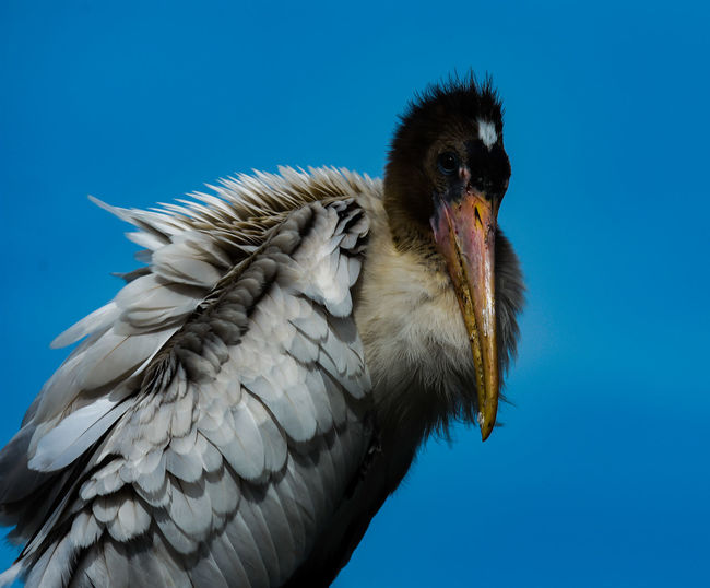 Low angle view of a bird against clear blue sky
