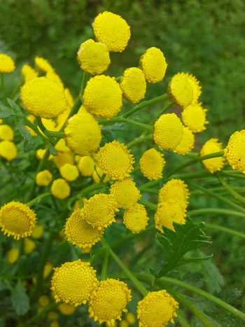 Пижма!!! Tansy!!! EyeEm Nature Lover Natural Beauty Nature Naturally Me Flower Flowers, Nature And Beauty Flovers🌺beautiful Love 💕 Flowers For My Friends Flover, Green, Summer Nature Photography Nature_collection Summer ☀ EyeEm Best Shots - Nature Flower Collection Flower Photography