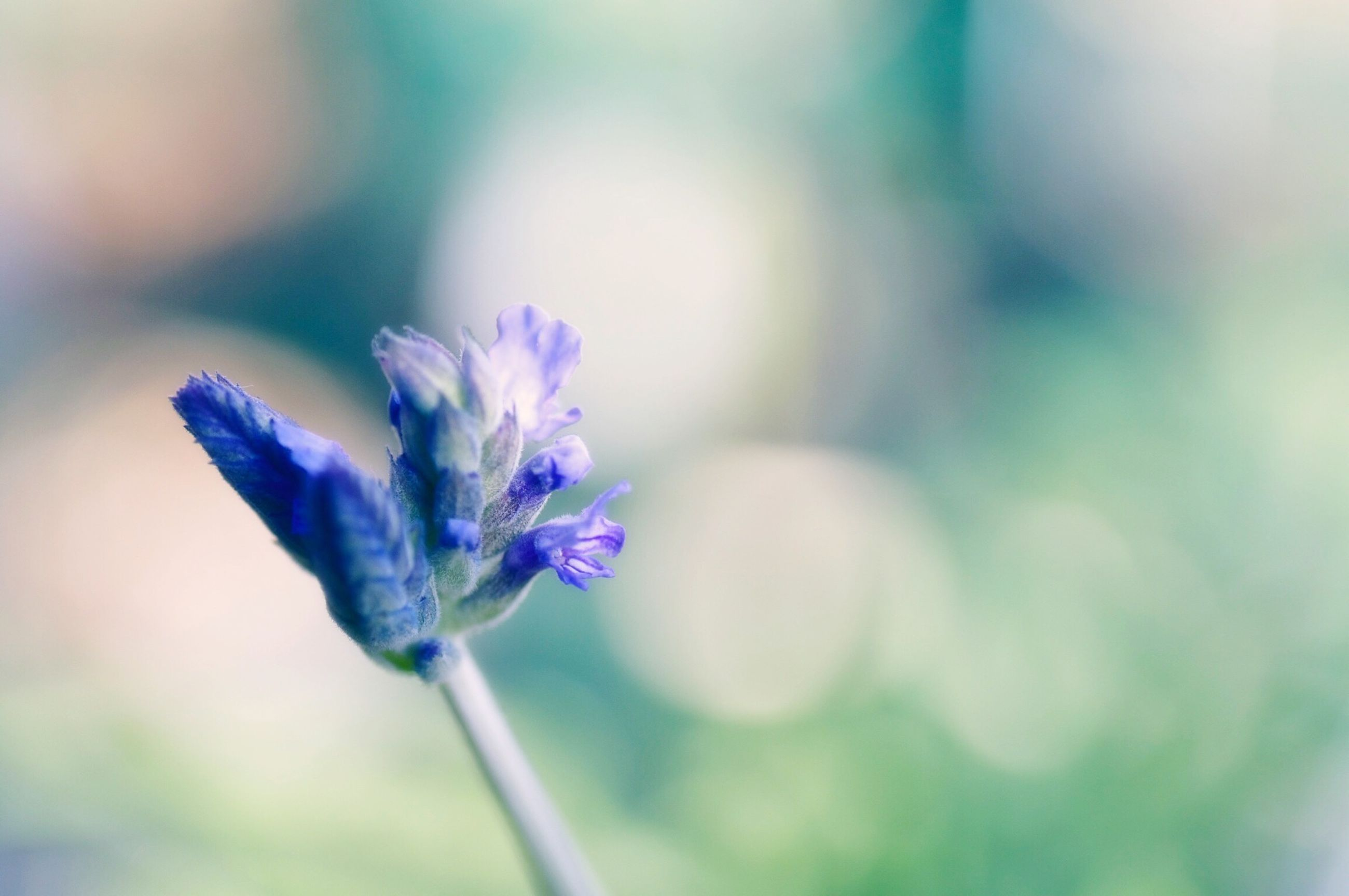 flower, purple, fragility, focus on foreground, freshness, petal, close-up, growth, flower head, beauty in nature, blue, stem, nature, plant, blooming, selective focus, single flower, in bloom, day, outdoors