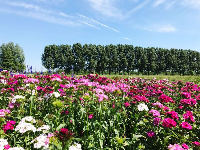 Flowers in a field. Dutch landscape Flower Nature Beauty In Nature Day Field Sky Outdoors No People Freshness