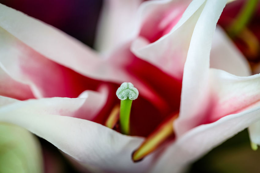 Lily Flower Petal Flowering Plant Plant Beauty In Nature Freshness Vulnerability  Fragility Growth Pollen Extreme Close-up Stamen Pistil Flower Head No People Blossom Day Nature