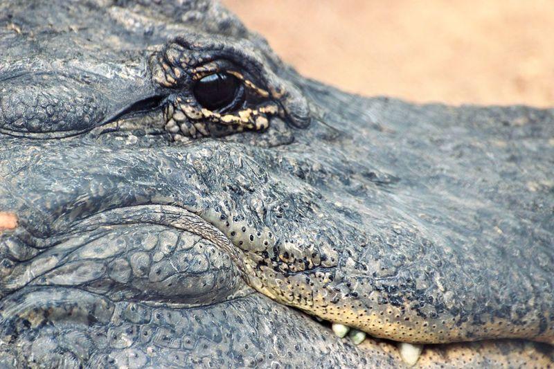 Gator Animal