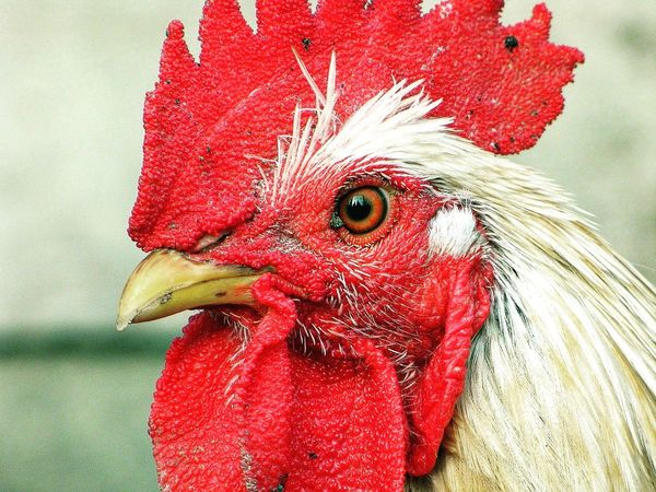 Eye Red Chicken - Bird Livestock Domestic Animals Bird Close-up Rooster Animal Head  Cockerel One Animal Animal Themes Beak No People Outdoors Day Nature The Photojournalist - 2017 EyeEm Awards EyeEmNewHere Let's Go. Together.