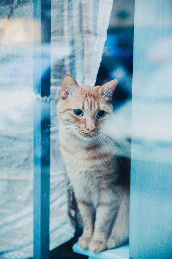 Alertness Animal Head  Animal Themes Cat Comfortable Curiosity Curious Domestic Animals Domestic Cat Dusk Feline Blue Wave Looking At Camera Mammal Observing One Animal Pets Portrait Reflection Relaxation Relaxing Sitting Watching Whisker Window Pet Portraits