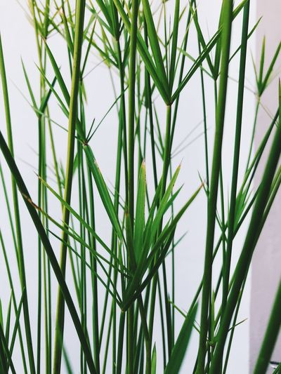 Growth Plant Green Color Beauty In Nature Nature No People Grass Close-up Day Tranquility Blade Of Grass Plant Part Outdoors Leaf Focus On Foreground Selective Focus Green Freshness Agriculture Fragility Bamboo - Plant