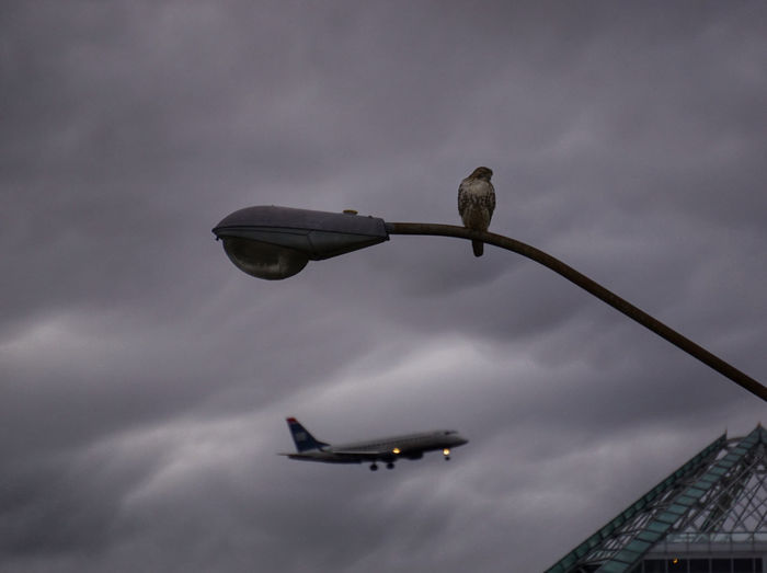 First in Flight Hawk Birds Bird Bird Of Prey Airplane Plane Planes Depth Of Field Virginia Northern Virginia