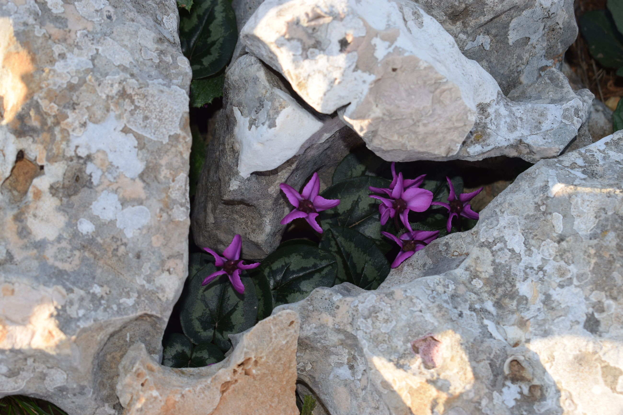 flower, rock, nature, solid, flowering plant, plant, rock - object, no people, close-up, beauty in nature, day, vulnerability, fragility, petal, outdoors, growth, wall - building feature, textured, freshness, pink color, stone wall, flower head
