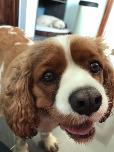 Lively meet Lullabies One Animal Pets Domestic Dog Mammal Canine Domestic Animals Animal Themes Animal Focus On Foreground Portrait Looking At Camera Indoors  Close-up No People Animal Body Part Home Interior Day Looking