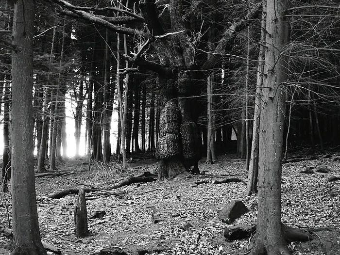 Showcase: February shining woods,spooky looking tree