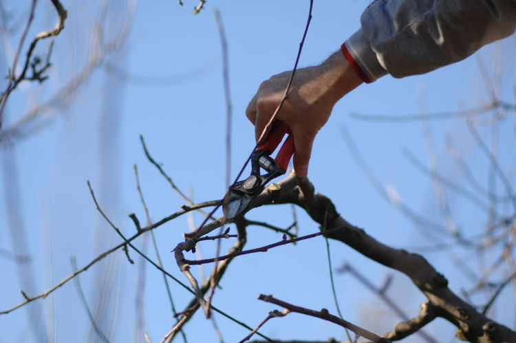 Agriculture Farmer Pruning Apple Tree Apple Trees Garden Branch Day Nature One Person Orchard Outdoors Pruning Apple Tree Pruning Shears Real People Sky Tree