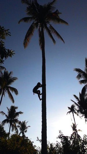 Climbing A Tree Coconut Climber Coconut Palm Tree Coconut Silhouette Coconut Tree Coconut Trees No People Palm Tree Silhouette Sky Tall - High Tree Tropical Climate Tropical Tree Trunk EyeEmNewHere