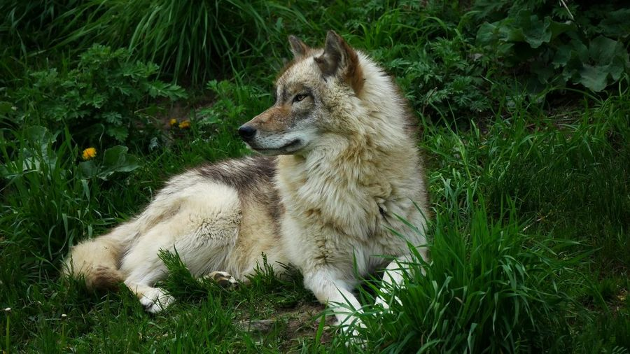 Endangered Noble Nobility Grass Animal Wildlife Nature Close-up Outdoors Mammal Animals In The Wild Monogamous Timber Wolf Monogamy Pack Leader Wolf Premium Collection Faithful Grey Wolf Grey Wolves Full Moon Alpha Male Quebec Canada The Great Outdoors - 2017 EyeEm Awards EyeEm Selects